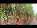 Индетерминантные томаты (экзотика) от компании ESASEM
