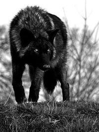 скачать черный волк торрент - фото 8