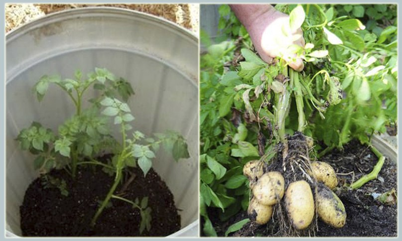 Выращиваем ранние овощи: огурцы в пакете, картошку в ведре