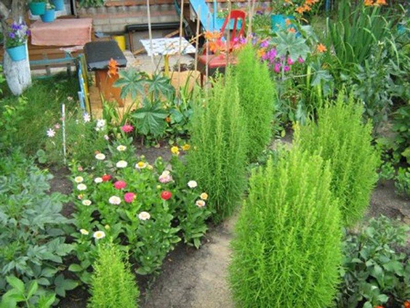 Кохия - летний кипарис: эффектное дополнение в цветник - выращивание и уход