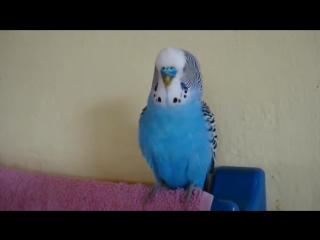 говорящий волнистый попугайчик_ Кеша-лётчик