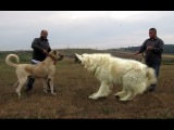 Kangal VS Caucasian Ovcharka | Top strong dogs