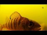 Окунь. Поплавочная удочка, подводные съемки. underwater. perch