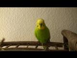 #Попугай #читает #стихи #Пушкина и #поет #детские #песни