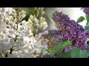 Сирень - С. Рахманинов - - Lilac