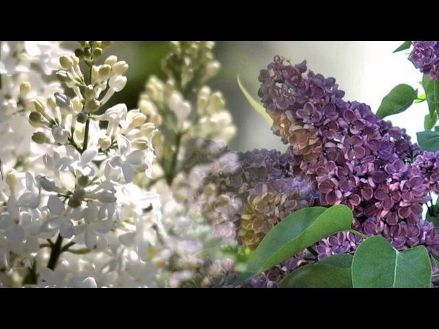 Сирень - С. Рахманинов - S.Rachmaninov - Lilac...