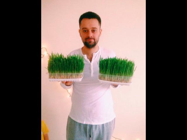Как прорастить и употребить Пшеницу