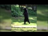 Медведь, которого просто не отличить от человека