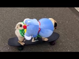 Мопс на скейте под клевую музыку 2