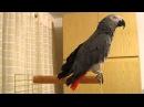 Папуга вигукуе Слава Україні Попугай говорит Слава Украине