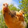 Птицеводство ➤ куры,перепела,гуси,утки,инкубатор