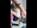 котик сосёт лапку