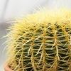 Ищешь кактусы и суккуленты? Питомник Кактусёнок
