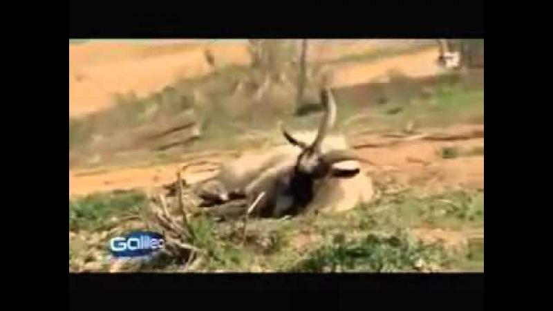 Порода коз которые при испуге притворяются мёртвыми