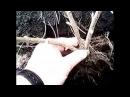 Как посадить черную смородину Дед научил