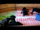 щенки добермана бои без правил