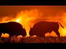 European bison. Fighting bulls at sunrise.