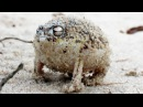Angry Squeaking Frog - Super Cute Animals Preview - BBC One