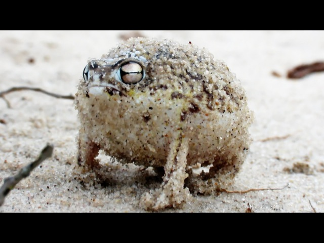 Angry Squeaking Frog - Super Cute Animals: Preview - BBC One