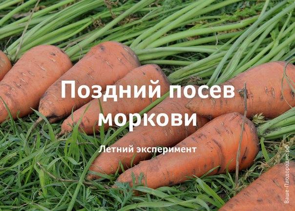 Когда сажать морковь на зиму на кубани 81