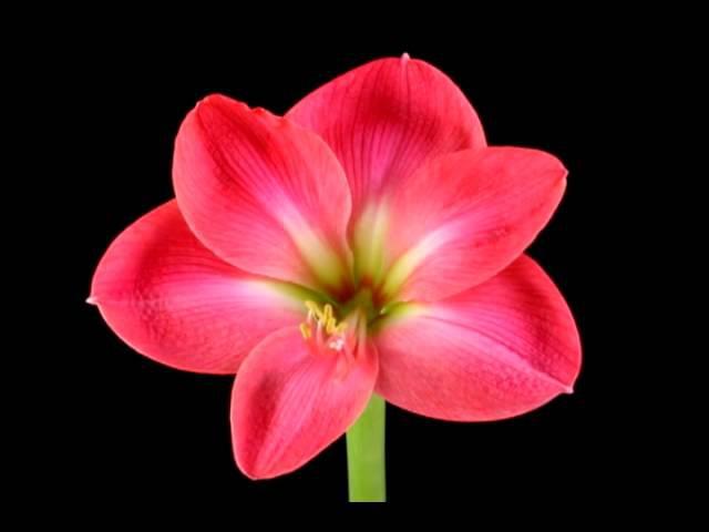 Распускающиеся цветы veg