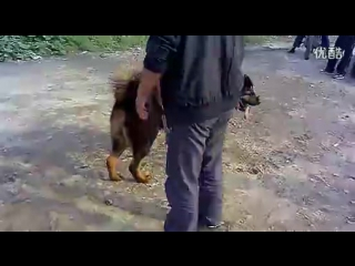 Собачьи бои китайская горная красная собака (Лайчжоу) vs тибетский мастифф