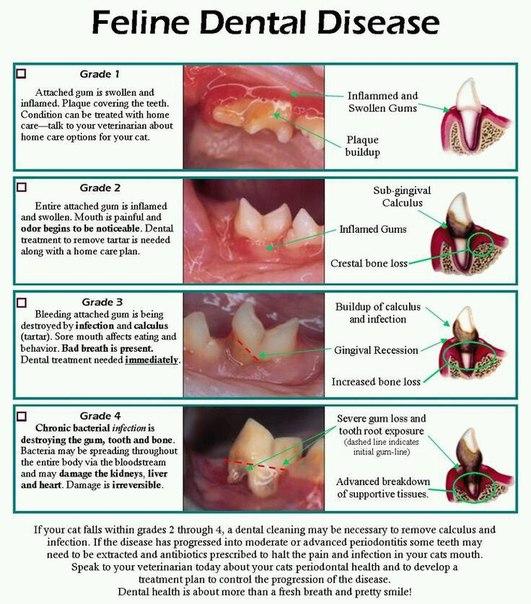 Заболевание зубов у кошек
