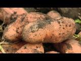 Новый картофельУТРО РАННЕЕне повреждается колорадским жуком