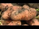 Картофель Утро раннее. Сорт картофеля, который не повреждается колорадским жуком.