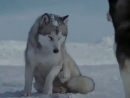 Клип про любовь и преданность собак Хаски.