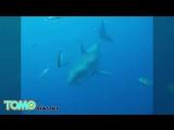 Новый мегалодон Опубликовано видео самой большой в мире акулы