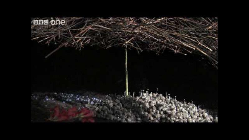 Life - The Vogelkop Bowerbird: Nature's Great Seducer - BBC One