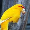 ₪ Какарики, певчие, неразлучники ₪ попугаи