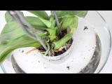 Полив орхидеи, основные правила