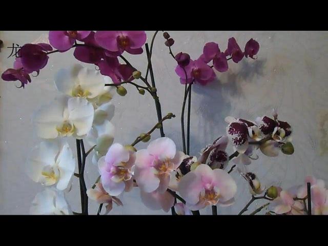 орхидея Phalaenopsis уход после покупки