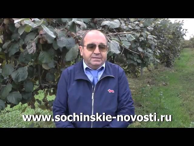 Как выращивают киви в Сочи.mp4