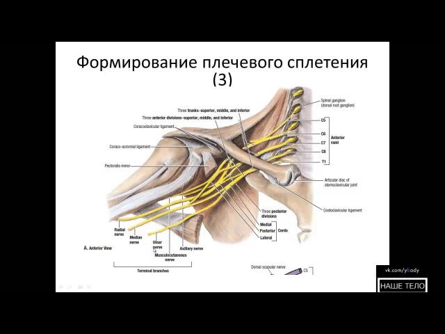Формирование плечевого сплетения
