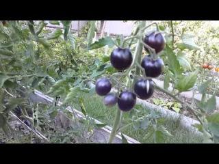 Черные томаты ( Black tomatoes )