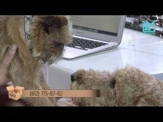 Test.tv: Все для животных. Эрдельтерьер – лучший друг семьи