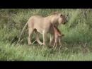 Дикий лев защищает маленького телёнка!Люди, берите пример