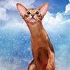 Абиссинские кошки, питомник SHADEABY