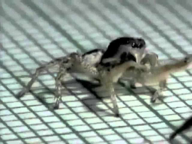 Cuban Spider