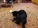 Горностай в доме! Кот вешается!!!