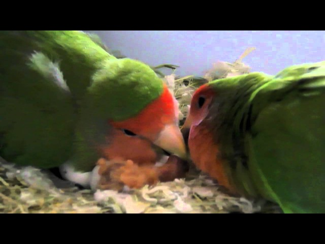 Love Birds: wonderful pets!