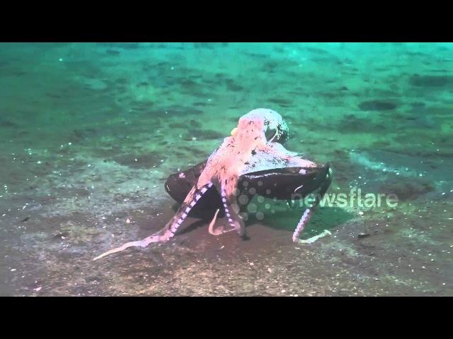 осьминожек несет кокос