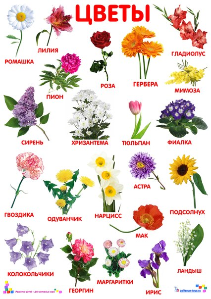 Садовые цветы в картинках с названием