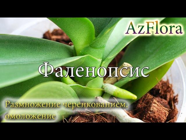 Размножаем Орхидею Фаленопсис черенкованием, проводим омоложение