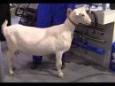 Бонитировка козы зааненской породы Мастер класс Питер Байман Peter Bayman