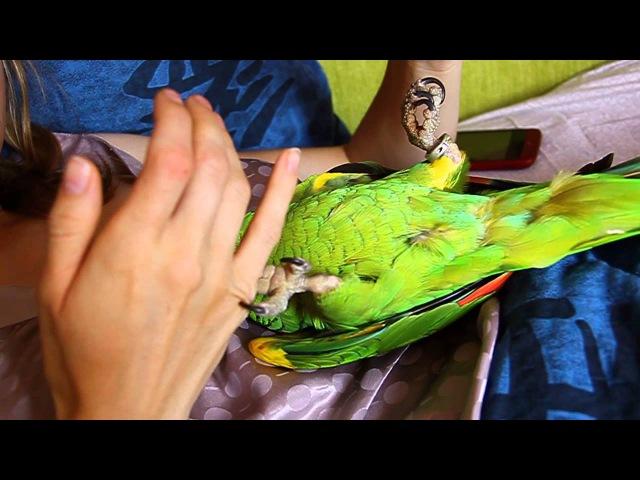Синелобый Амазон мерзопакостная птица.