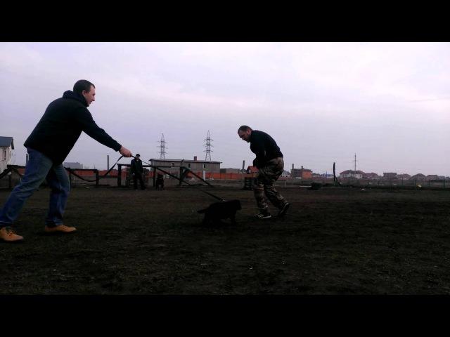 Дрессировка собак в Одессе. СДЦ Veska. Бэтэр, щенок НО 10 недель